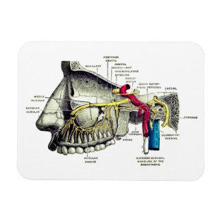 Magnet Flexible Anatomie maxillaire d'humain de nerfs