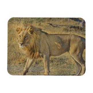 Magnet Flexible Beau mâle de lion marchant sur la savane