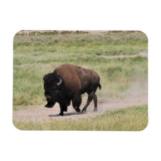 Magnet Flexible Buffalo sur le mouvement, photographie