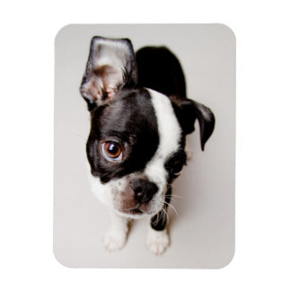 Magnet Flexible Chiot d'Edison Boston Terrier