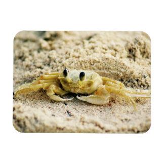 Magnet Flexible Poncez le crabe, Curaçao, îles des Caraïbes, photo