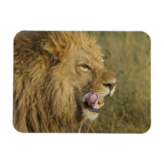 Magnet Flexible Portrait de mâle de lion léchant sa bouche