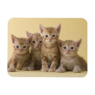 Magnet Flexible Quatre chatons de Shorthair d'Américain
