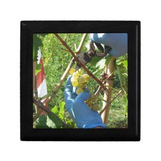 Main coupant les raisins blancs, temps de récolte boîte à souvenirs