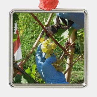 Main coupant les raisins blancs, temps de récolte ornement carré argenté