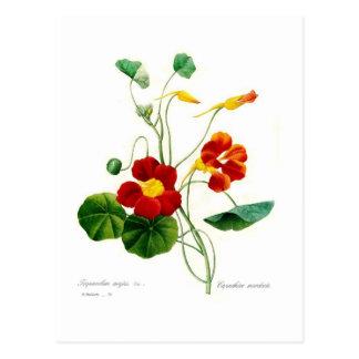 Majus de Tropoeolum (nasturce) Carte Postale
