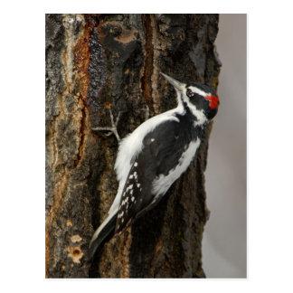 Mâle velu de pivert sur l'arbre de tremble, Teton Cartes Postales