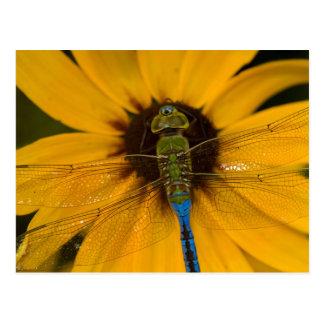 Mâle vert commun de Darner sur Susan Noir-eyed Carte Postale