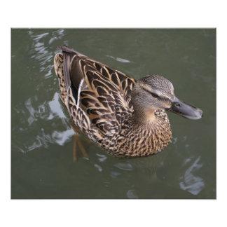 Mallard femelle avec des baisses de l eau photo sur toile