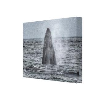 Maman et violation de la toile de baleine de bosse