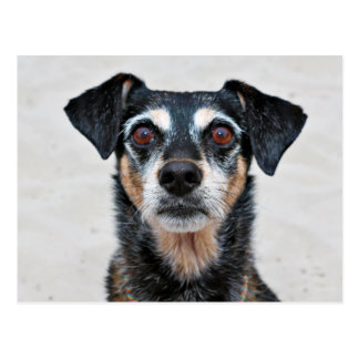 Manchester Terrier X - la Jordanie - Derr Cartes Postales