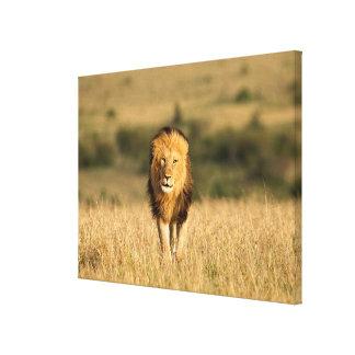 Marche masculine de lion toile