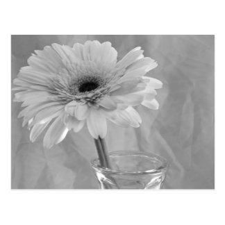 Marguerite noire et blanche carte postale