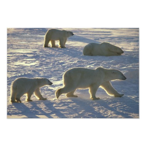 Maritimus d'Ursus d'ours blancs) deux femelles, Photographes
