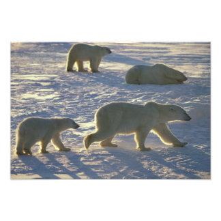 Maritimus d'Ursus d'ours blancs) deux femelles, Photo Sur Toile