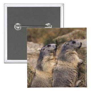 Marmot alpin, marmota de Marmota, adultes, Saas Badge