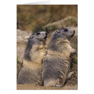 Marmot alpin, marmota de Marmota, adultes, Saas Carte De Vœux