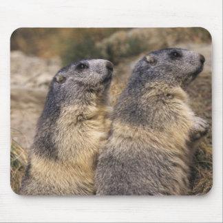 Marmot alpin, marmota de Marmota, adultes, Saas Tapis De Souris
