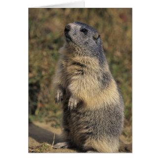 Marmot alpin, marmota de Marmota, position adulte Carte De Vœux