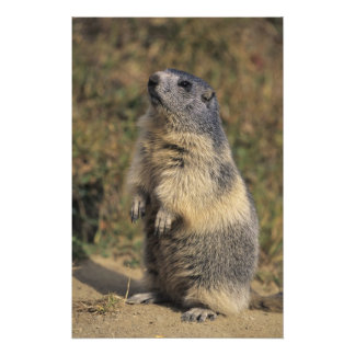 Marmot alpin, marmota de Marmota, position adulte Photographies