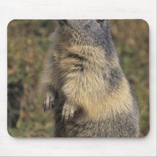 Marmot alpin, marmota de Marmota, position adulte Tapis De Souris