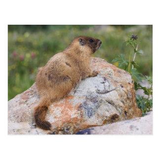 Marmot Jaune-gonflé, flaviventris de Marmota, Carte Postale