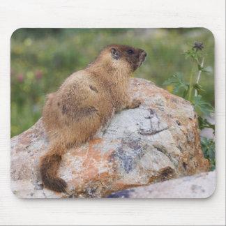 Marmot Jaune-gonflé, flaviventris de Marmota, Tapis De Souris