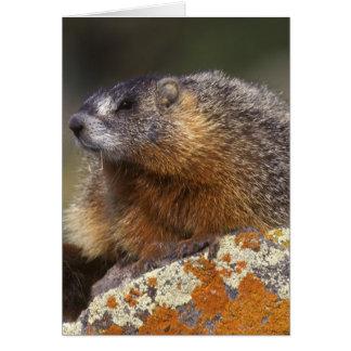 Marmot Jaune-gonflé, Yellowstone NP, WY, Carte De Vœux