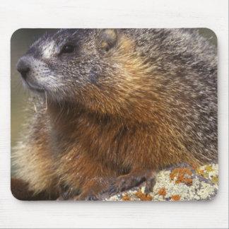Marmot Jaune-gonflé, Yellowstone NP, WY, Etats-Uni Tapis De Souris