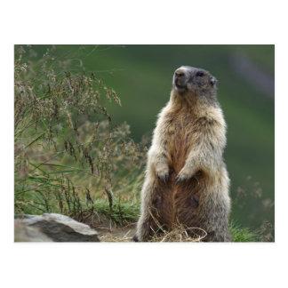 Marmota de Marmota Carte Postale