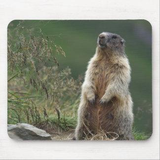 Marmota de Marmota Tapis De Souris