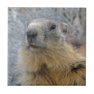 Marmotte alpine de plan rapproché carreau