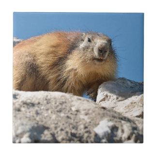 Marmotte alpine sur la roche carreau