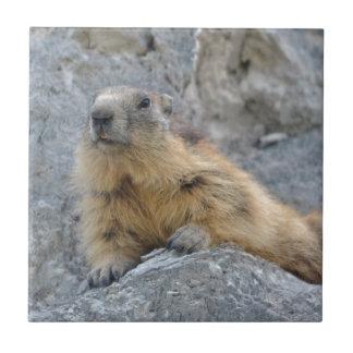 Marmotte alpine sur le roch carreau