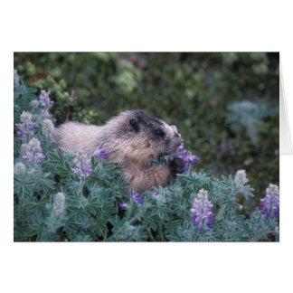 Marmotte blanchie alimentant sur de loup soyeux, carte de vœux