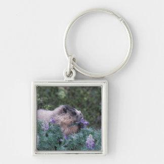 Marmotte blanchie alimentant sur de loup soyeux, s porte-clé carré argenté