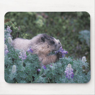 Marmotte blanchie alimentant sur de loup soyeux, s tapis de souris