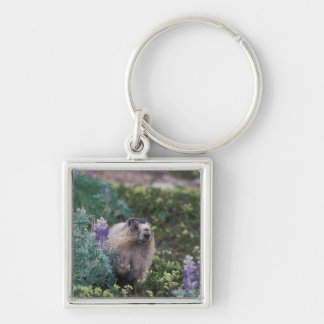 marmotte blanchie, caligata de Marmota, alimentant Porte-clé Carré Argenté