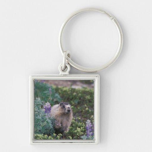 marmotte blanchie, caligata de Marmota, alimentant Porte-clés