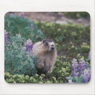 marmotte blanchie, caligata de Marmota, alimentant Tapis De Souris