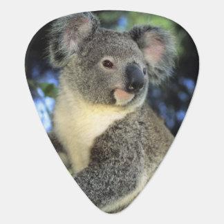Médiators Cinereus de koala, de Phascolarctos), l'Australie,