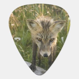 Médiators Fox rouge, fulva de Vulpes sur le rondin, fleurs