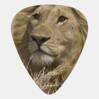 Médiators Lion africain, Panthera Lion, portrait d'a