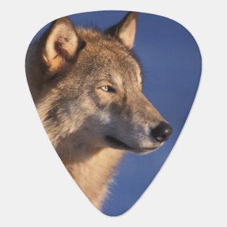 Médiators loup gris, lupus de Canis, dans les collines de 2