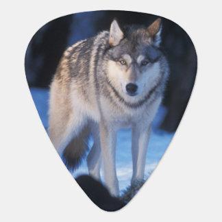 Médiators loup gris, lupus de Canis, dans les collines des 3