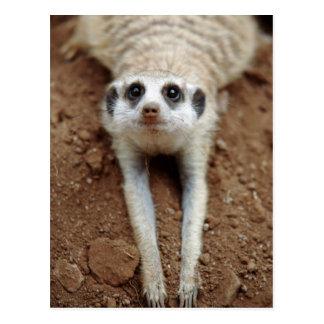 Meerkat (Suricata Suricatta) refroidissant Carte Postale
