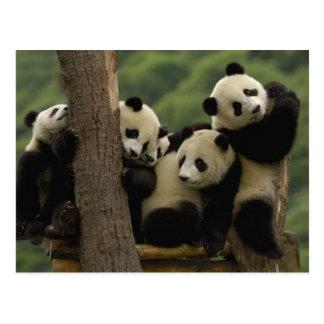 Melanoleuca d'Ailuropoda de bébés de panda géant) Cartes Postales