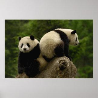 Melanoleuca d'Ailuropoda de bébés de panda géant)  Poster