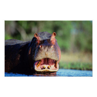 Menace d'hippopotame (hippopotame Amphibius) Affiches