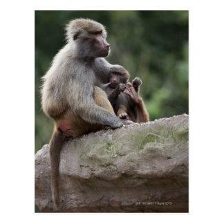 Mère de babouin soignant ses jeunes carte postale
